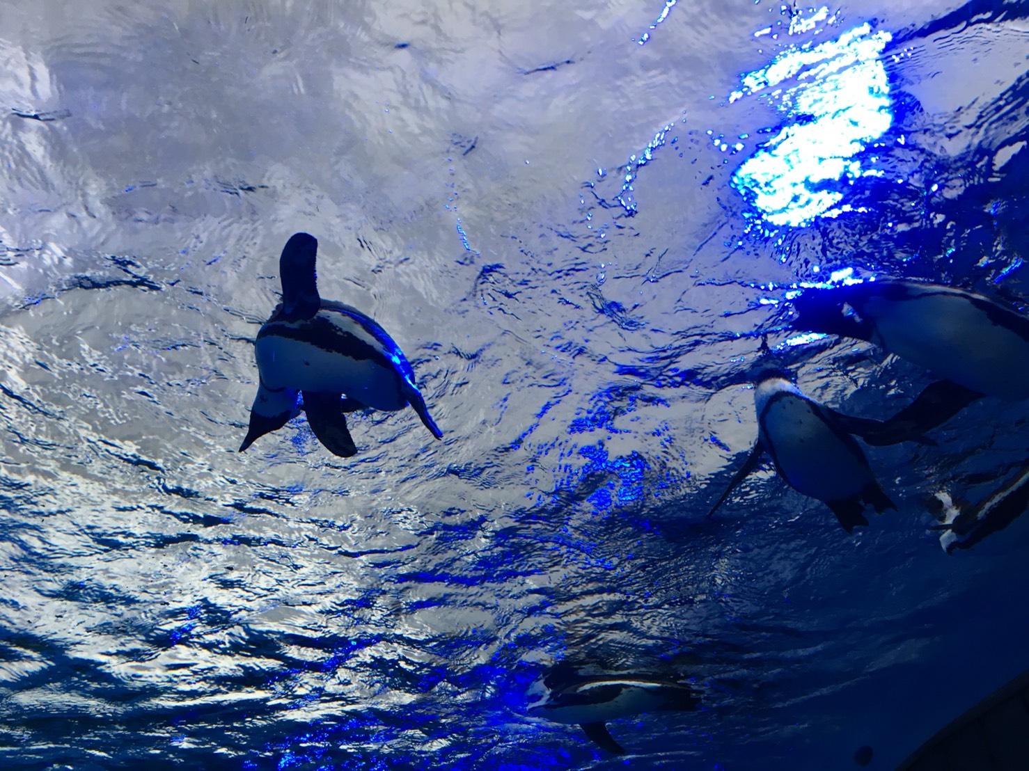 【池袋駅】「サンシャイン水族館」で癒されようよ!ほら早く!の空飛ぶペンギン2
