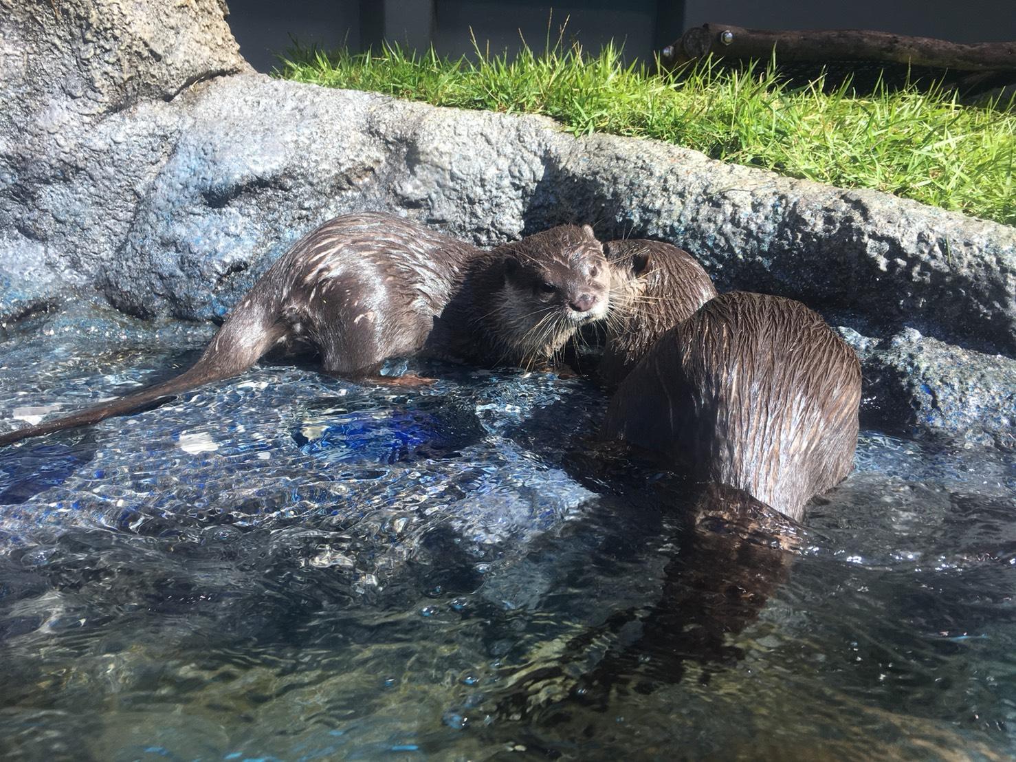 【池袋駅】「サンシャイン水族館」で癒されようよ!ほら早く!の追記:カワウソくん1