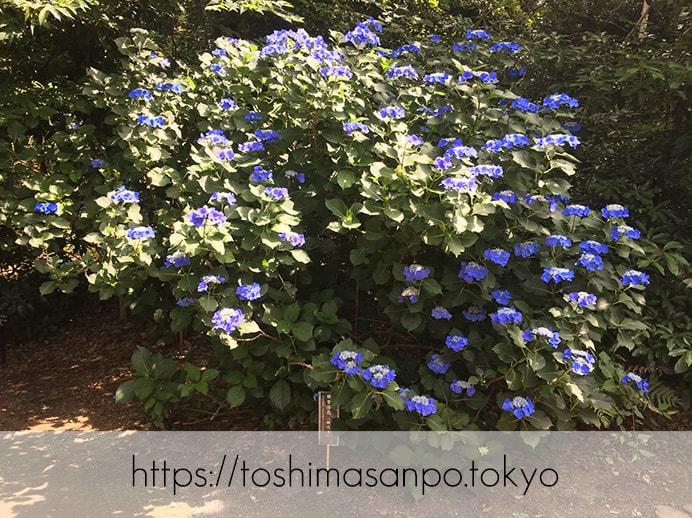 【駒込駅】歴史を学ぶいい日にしよう。和歌山市を模した江戸時代の庭園「六義園」で涼をとろう。の六義園のアジサイ1