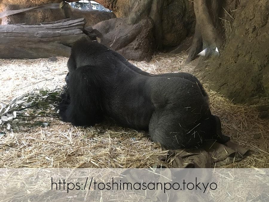 【上野駅】高速上野散歩を提案!大満足の絶品洋食「たいめいけん」のあとに上野動物園で超エンジョイの上野動物園のゴリラ